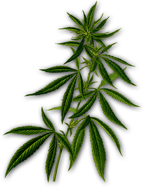 Cannerbispflanze mit transparentem Hintergrund