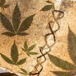 Geschichte des Cannabinoids Cannabidiol