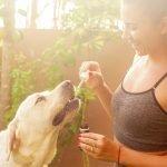 Ein Labrador nimmt CBD-Öl zu sich