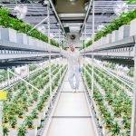 Cannergrow bietet Cannabispflanzen Stellplätze zum Verkauf