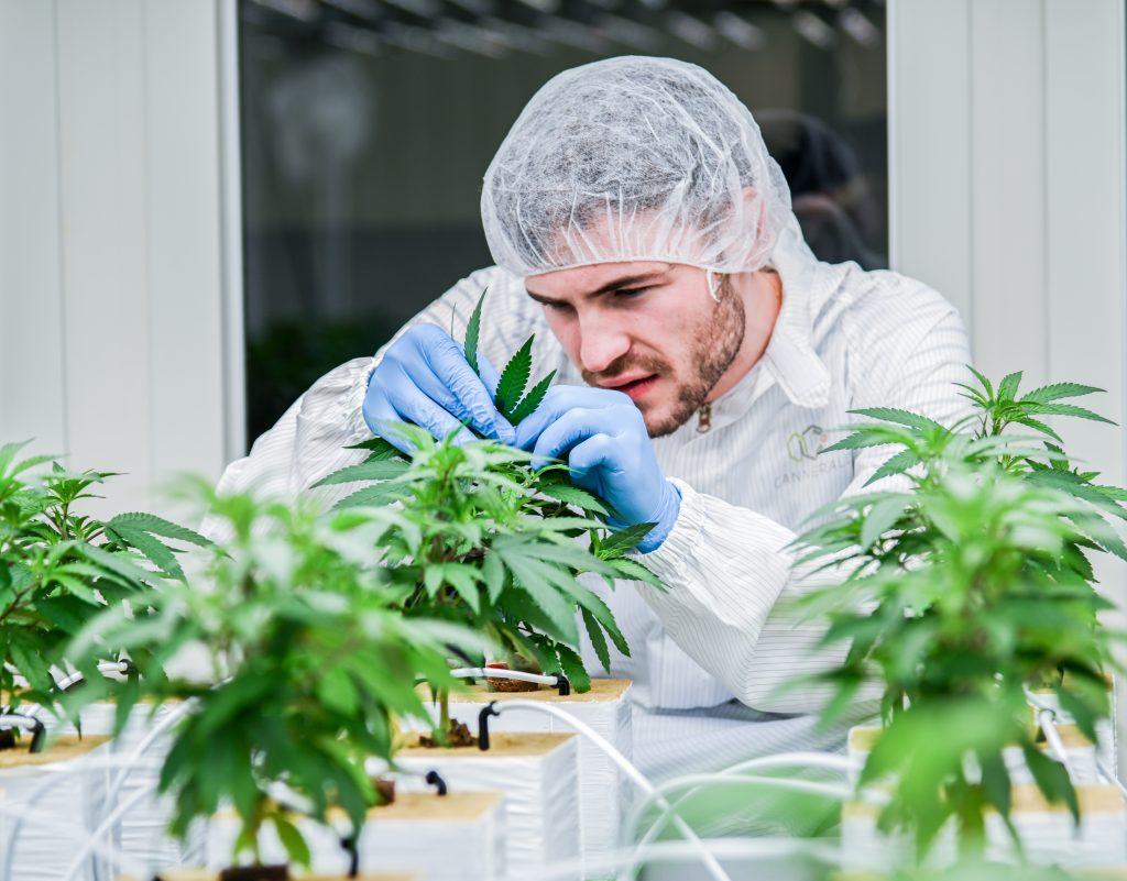 Cannergrow Cannabispflanzen Stellplätze werden gepflanzt